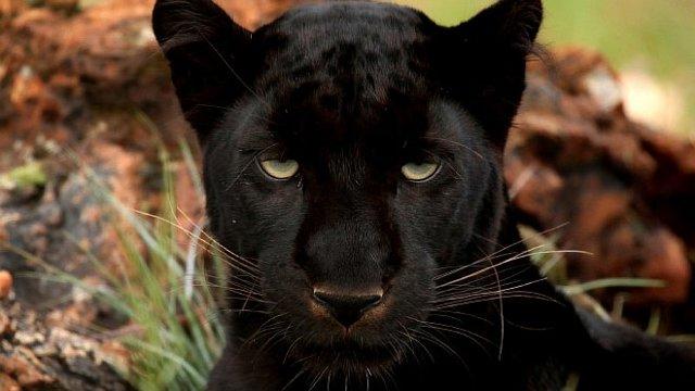 Пантера, нападающая на всадника, Делакруа