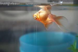 Красные рыбки, Анри Матисс - описание картины